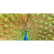 Quadro Decorativo em Canvas 50x100 cm Pavão - Jolie